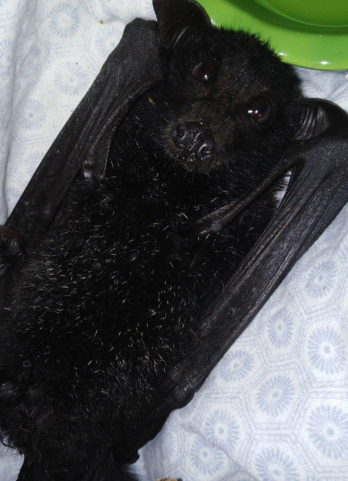 Black Flying Fox toe amputation