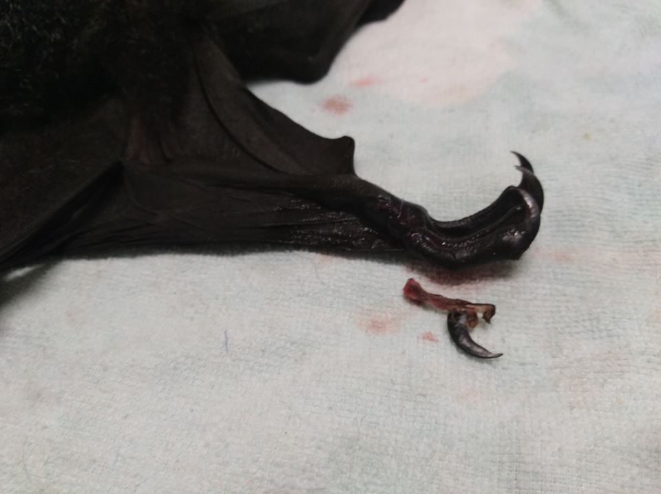 Black Flying Fox toe amputation