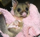brushtail possum - orphaned baby