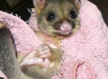 brushtail possum - orphaned baby