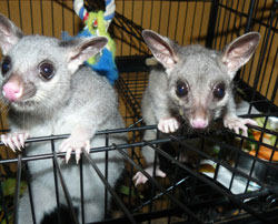 Baby Brushtail possums