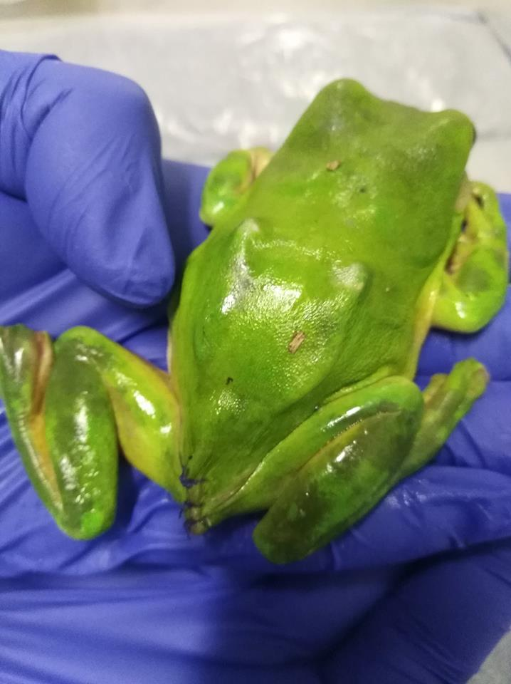 Frog surgery