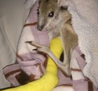 Wallaby with broken leg received surgery